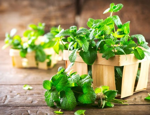 Peppermint for Home and Health during the Holidays