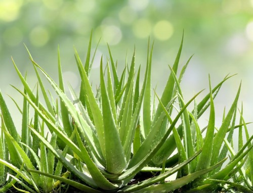 Aloe Vera Benefits the Gut