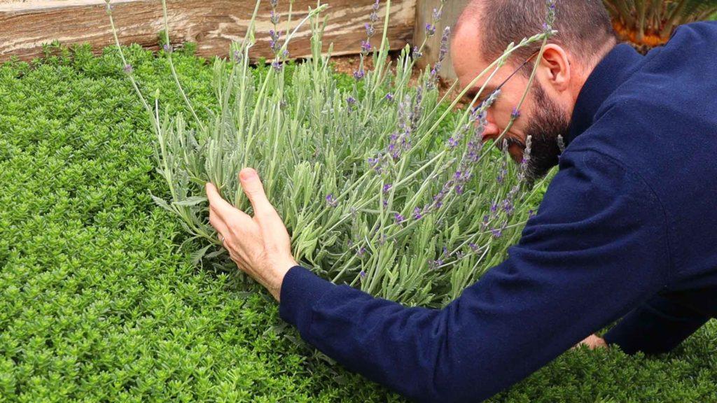Dr. Dzvonick Hugging Lavender Plant