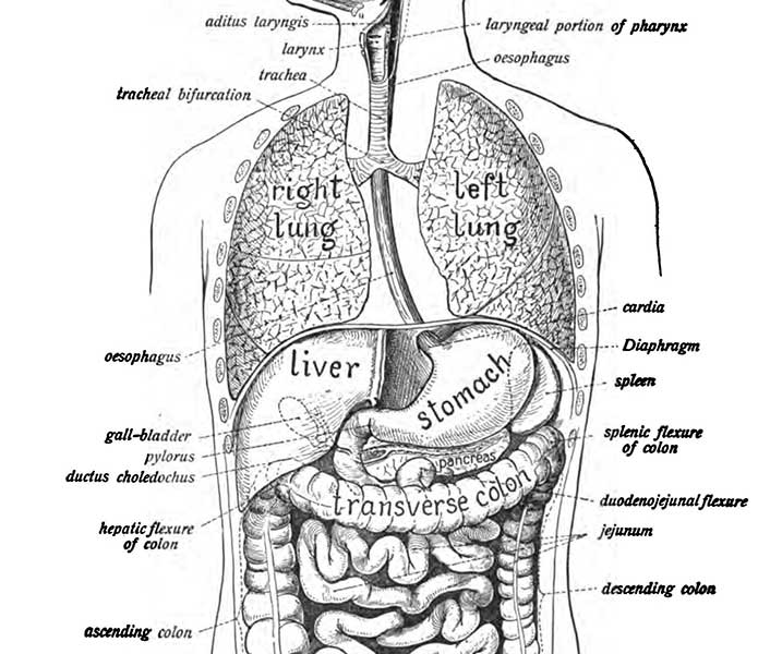 Public domain illustration of digestive organs