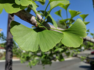 California Naturopathic Clinic has this picture of a ginkgo leaf on the homepage of their website.